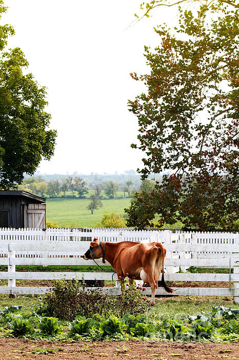 Little Jersey Cow Print by Stephanie Frey