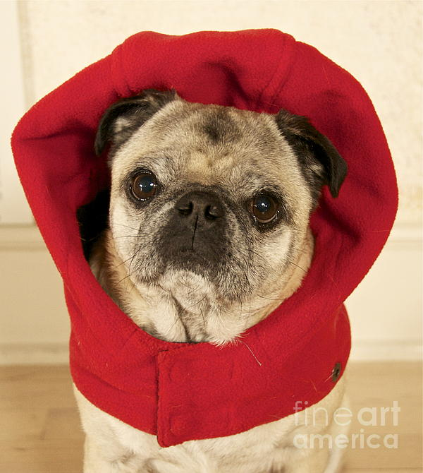 Little Red Riding Pug Print by Cindy Lee Longhini