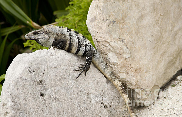Lizard Print by Blink Images