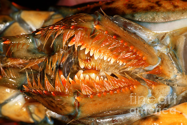 Lobster Mouth Print by Ted Kinsman