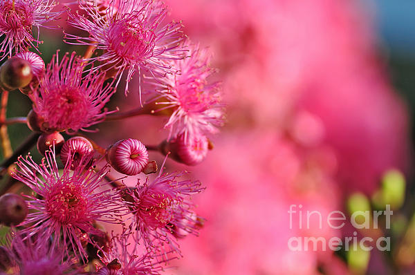Lollypop Gum Tree Blossoms Print by Kaye Menner