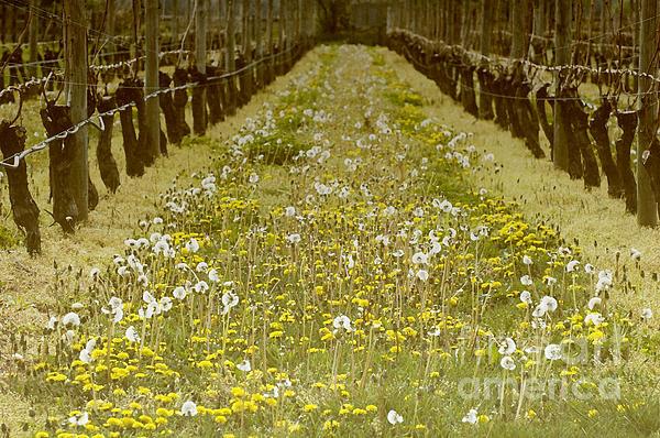 Long Island Vineyard Print by Anahi DeCanio