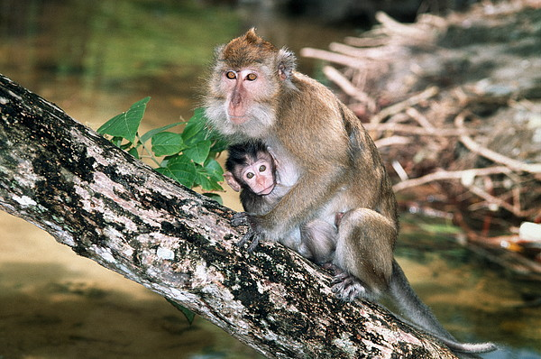 Long-tailed Macaque Mother And Baby Print by Georgette Douwma