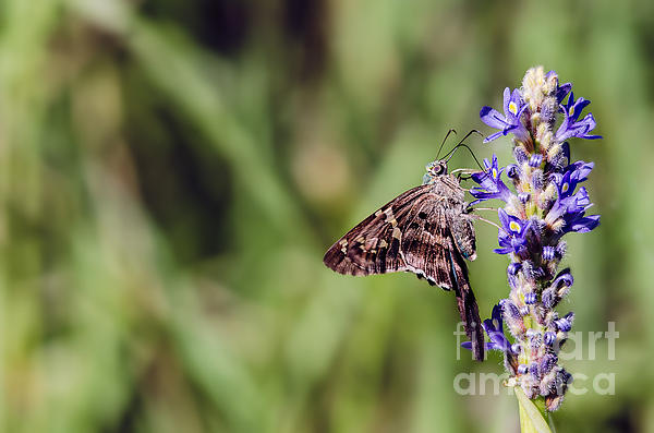 Long-tailed Skipper Butterfly Print by Cindy Bryant