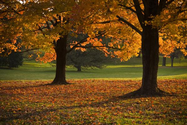 Loose Park Maple Trees Print by Chad Davis