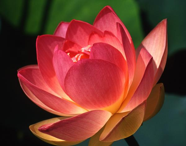 jani lane sacred lotus blossom  flickr, Beautiful flower