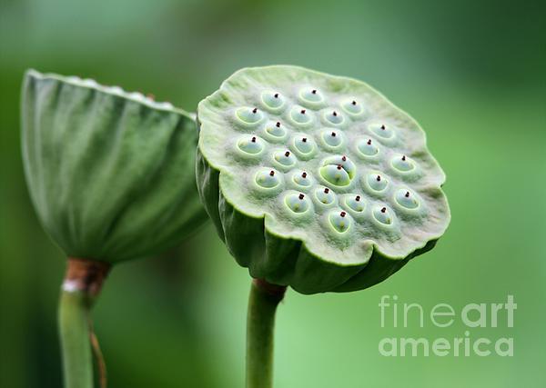 Lotus Seed Pods Print by Sabrina L Ryan