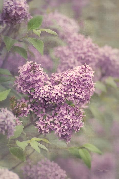 Cheryl Davis - Lovely Lilac