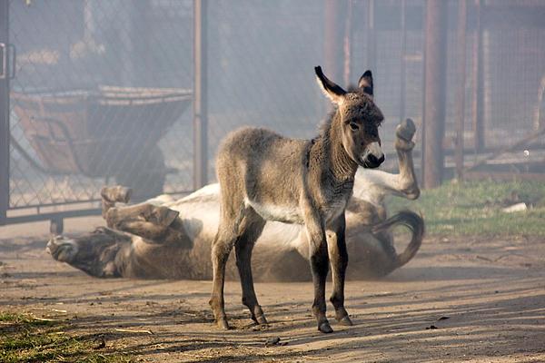 Loving Family Of Donkeys Print by Odon Czintos