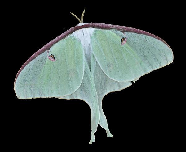 Luna Moth Print by Paul Ward