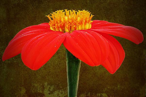 David Dehner - Magenta Zinnia Flower