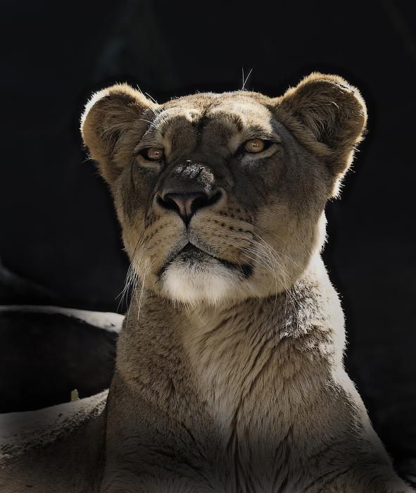 Magnificent Lioness Print by Sheila Smart