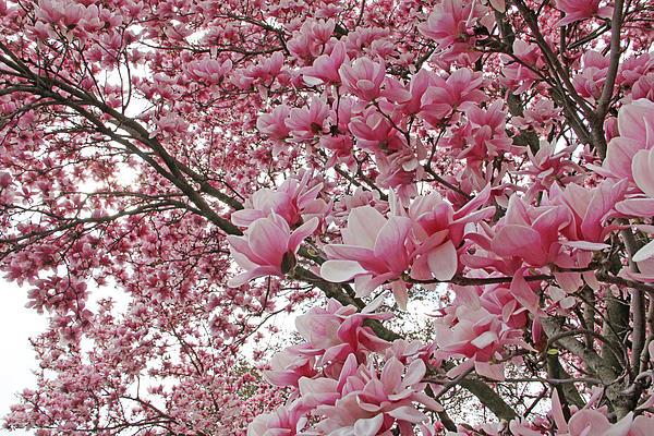 Becky Lodes - Magnolia beauty