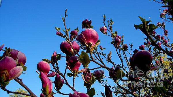 Magnolia Blloming Print by Tanya  Searcy