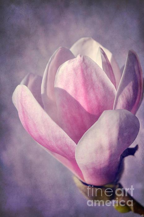 Magnolia Print by Iris Lehnhardt