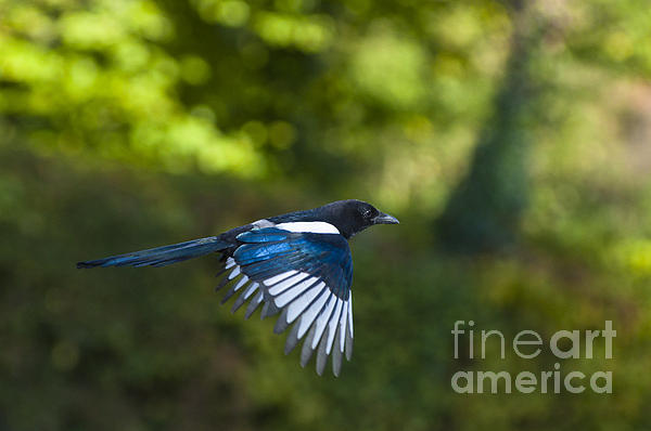 Magpie Print by Andrew  Michael