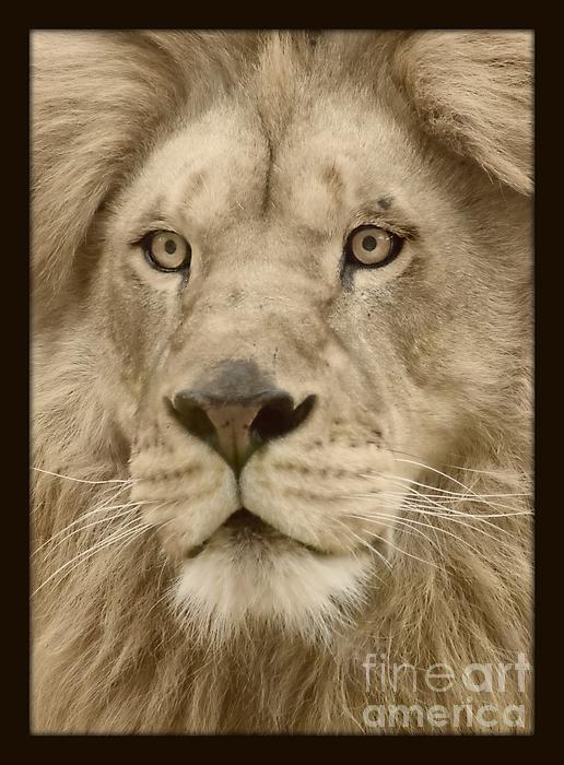 Majestic Lion Print by Megan Wilson