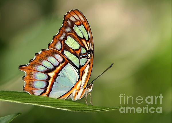 Malachite Butterfly Print by Sabrina L Ryan