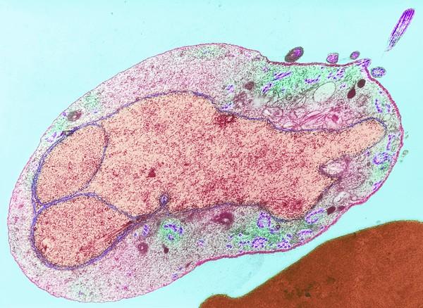 Malaria Parasite, Tem Print by Lshtm