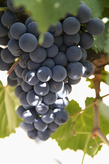 Malbec Grapes On The Vine Print by Peter Langer