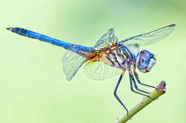 Bonnie Barry - Male Blue Dasher Dragonfly