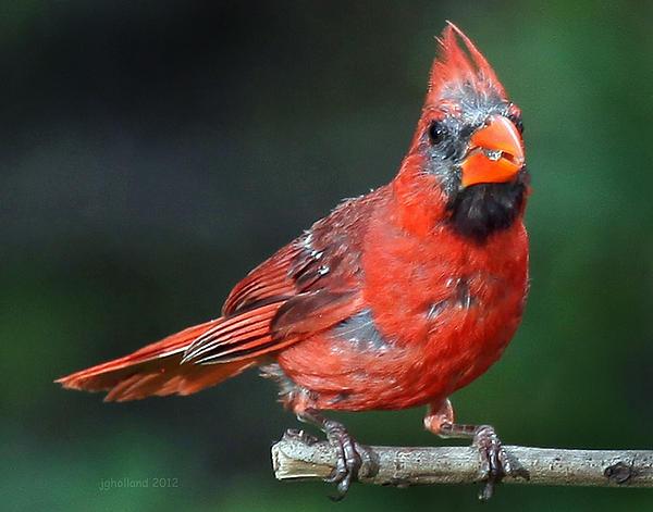 Joseph G Holland - Male Cardinal