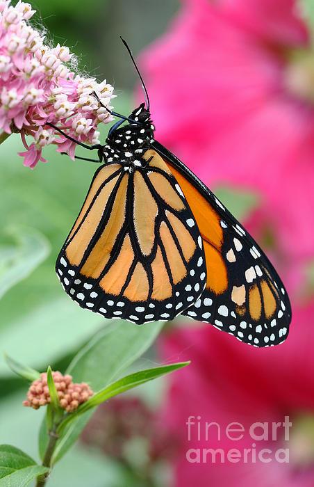Male Monarch Print by Steve Augustin