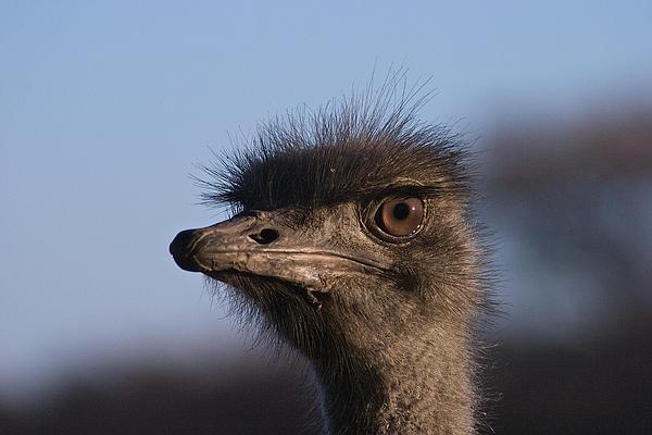Male Ostrich Namibia Print by David Kleinsasser