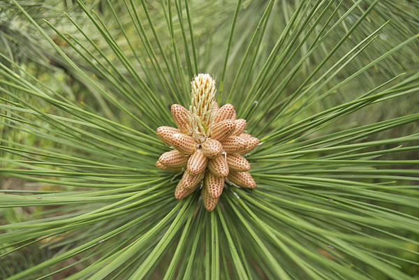 Male Pine Cones  Print by Michael Peychich