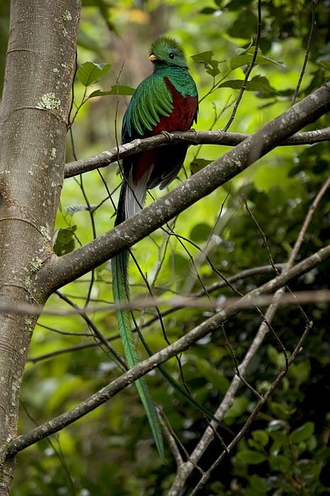 Male Resplendent Quetzal Print by Roy Toft