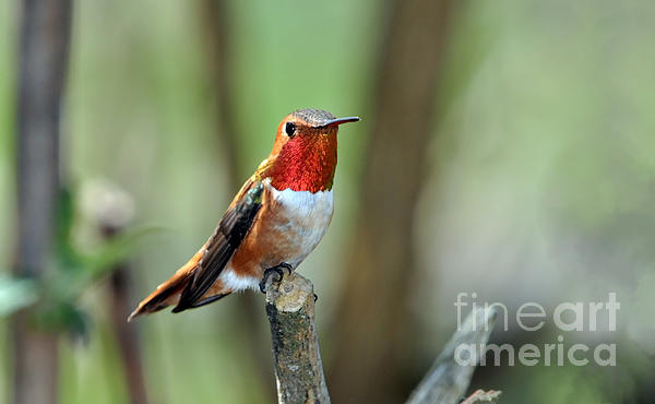 Laura Mountainspring - Male Rufous Resting