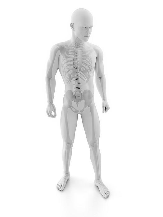 Male Skeleton, Artwork Print by Sciepro