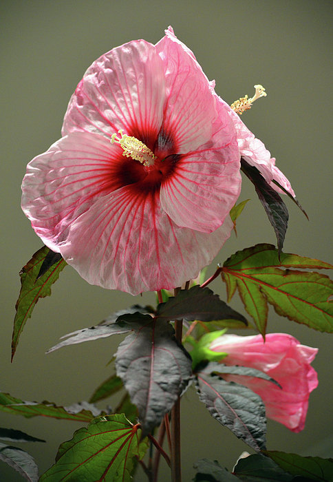 Mallow Hibiscus Print by Sandi OReilly