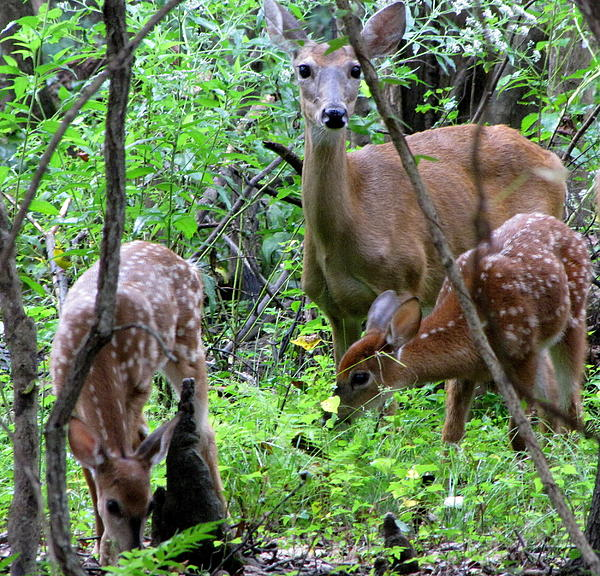 Betty  Berard - Mama Deer and Fawns at Lake Fausse Pointe State Park