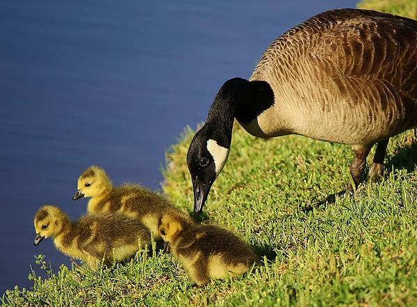 Mama Geese With Her Babies Print by Paulette Thomas