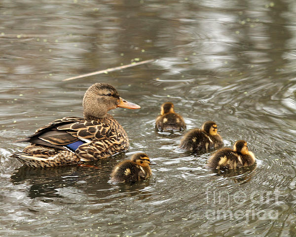 Mama Mallard With Babies Print by Deborah  Smith