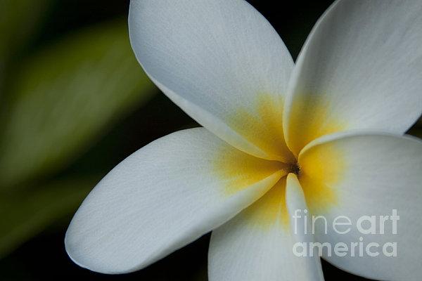 Mana I Ka Lani - Tropical Plumeria Hawaii Print by Sharon Mau