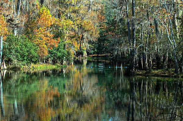 Manatee Spring Florida Print by Ronald T Williams