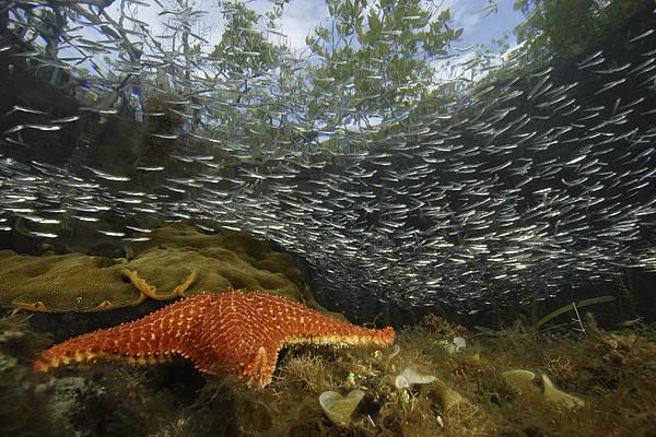 Mangrove Root Habitats Provide Shelter Print by Tim Laman