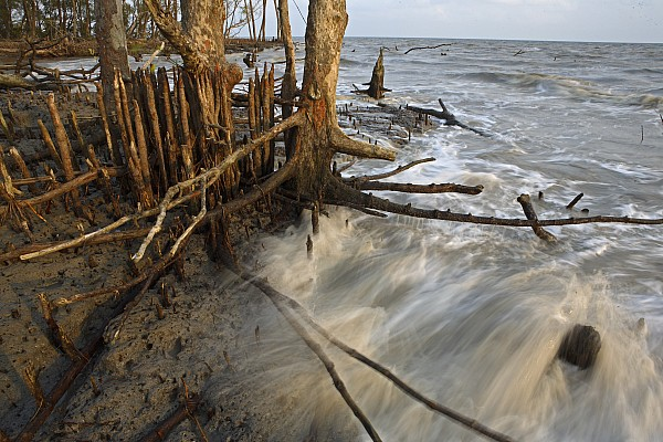 Mangrove Trees Protect The Coast Print by Tim Laman