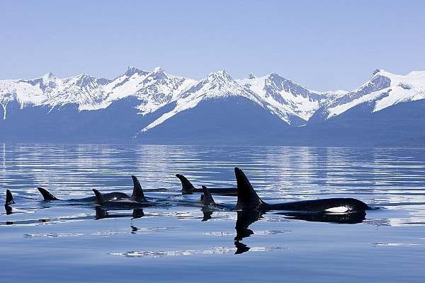 Many Orca Whales Print by John Hyde - Printscapes