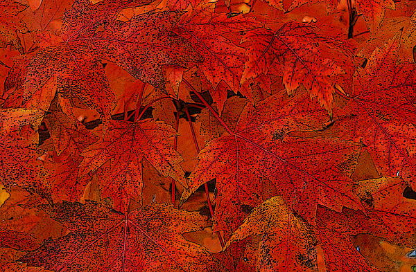 Tony Ramos - Maple Leaves in Red
