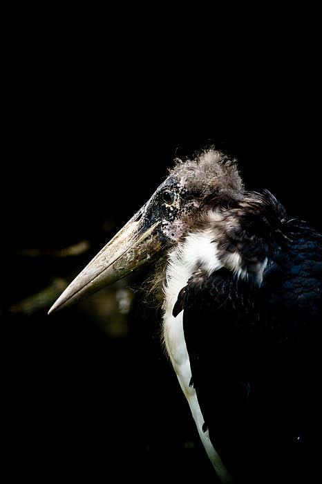 Marabou Stork Print by Hakon Soreide