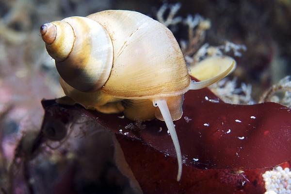 Marine Snail Print by Alexander Semenov