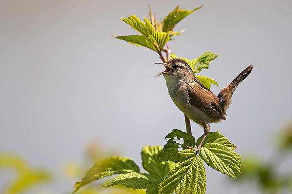 Marsh Wren Calling Print by Terry Dadswell