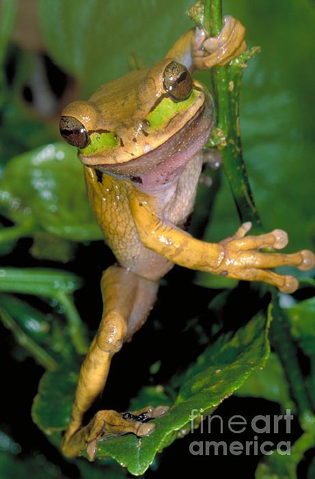 Masked Treefrog Print by Gregory G. Dimijian