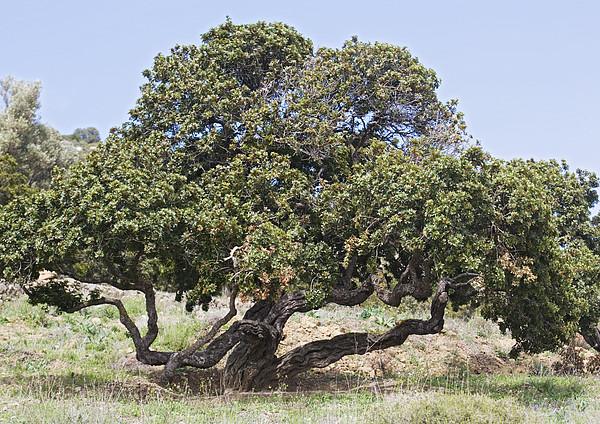Mastic Tree (pistacia Lentiscus Var.chia) Print by Bob Gibbons