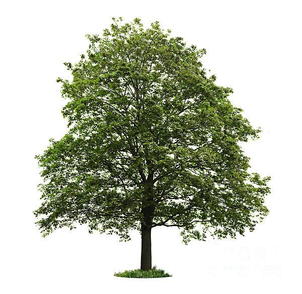 Mature Maple Tree Print by Elena Elisseeva