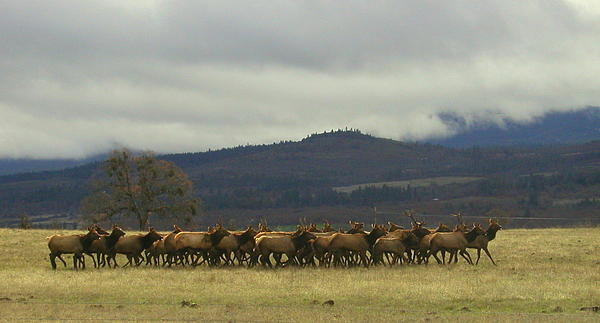 Cindy Wright - Medford Elk Herd 2