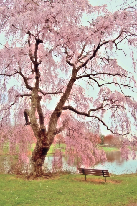 Meet Me Under The Pink Blooms Beside The Pond - Holmdel Park Print by Angie Tirado